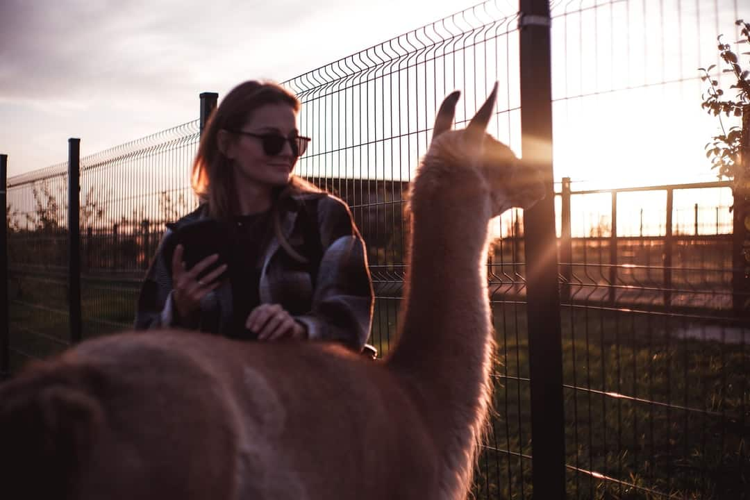 A person standing in front of a llama